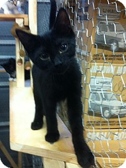 Domestic Shorthair Kitten for adoption in Spotsylvania, Virginia - Shadow