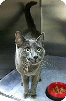 Russian Blue Cat for adoption in Davis, California - Monty
