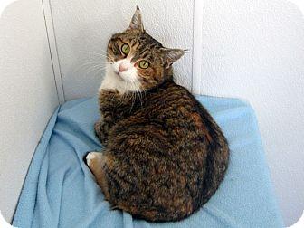 Domestic Shorthair Cat for adoption in Republic, Washington - Coquette (NO FEE!)
