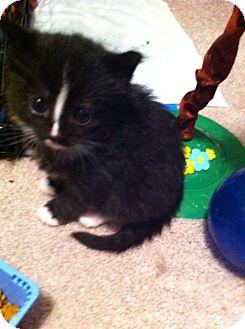 Domestic Shorthair Kitten for adoption in Orland Park, Illinois - Jupiter