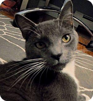 Domestic Shorthair Cat for adoption in Worcester, Massachusetts - Bob