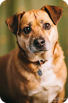 Beagle/Corgi Mix Dog for adoption in Portland, Oregon - Jake