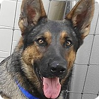 German Shepherd Dog Dog for adoption in SAN ANTONIO, Texas - HOLLY / CLAUS