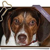 Adopt A Pet :: Kahlua - Portland, OR
