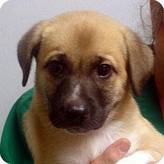 German Shepherd Dog/Labrador Retriever Mix Puppy for adoption in Manassas, Virginia - Oneida