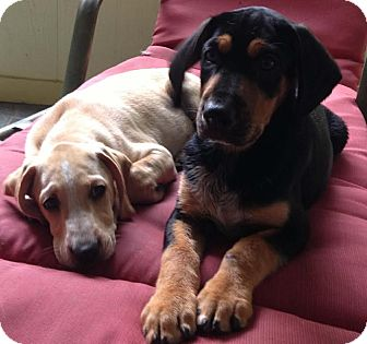 Black and Tan Coonhound Mix Puppy for adoption in Windham, New Hampshire - Tony