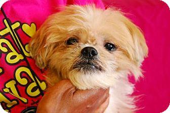 Shih Tzu Mix Dog for adoption in Philadelphia, Pennsylvania - Dulce
