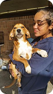 Hound (Unknown Type) Mix Dog for adoption in New Smyrna beach, Florida - Shirley
