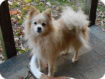 Pomeranian Mix Dog for adoption in Westport, Connecticut - Lacy