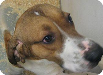 Treeing Walker Coonhound Mix Dog for adoption in El Cajon, California - Teddy