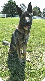German Shepherd Dog Dog for adoption in Owenboro, Kentucky - RUEGER!