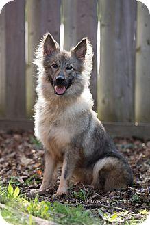 Sheltie, Shetland Sheepdog/German Shepherd Dog Mix Dog for adoption in Drumbo, Ontario - Sheppie