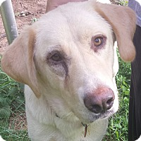 Adopt A Pet :: Shelby - Spring Valley, NY