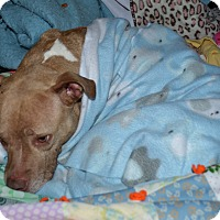 Adopt A Pet :: Tandy - Westfield, IN