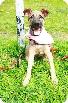 Labrador Retriever/Shepherd (Unknown Type) Mix Puppy for adoption in Castro Valley, California - Disa