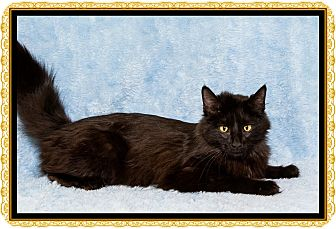 Domestic Mediumhair Cat for adoption in Mt. Prospect, Illinois - Lucy