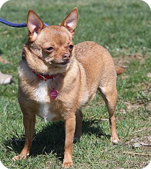 Chihuahua Mix Dog for adoption in Marietta, Ohio - Macey (Spayed)