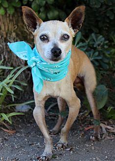 Chihuahua Mix Dog for adoption in Rancho Palos Verdes, California - Dewey