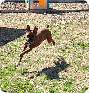 Boxer Dog for adoption in Brentwood, Tennessee - Coco