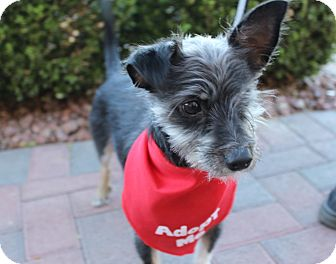 Terrier (Unknown Type, Small) Mix Dog for adoption in Las Vegas, Nevada - JACK CARRILLO (CAT FRIENDLY)