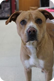 American Staffordshire Terrier Mix Dog for adoption in Yukon, Oklahoma - Julio