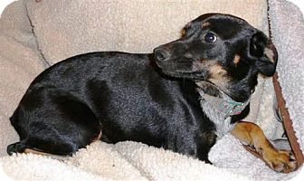 Manchester Terrier/Cattle Dog Mix Dog for adoption in San Antonio, Texas - Priscilla (Prissy)
