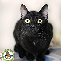 Domestic Shorthair Cat for adoption in Oceanside, California - Skidaddle