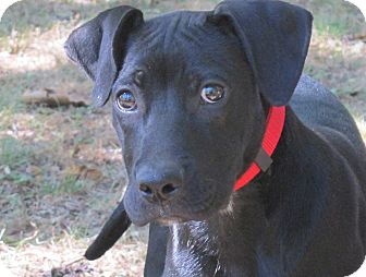 Boxer/Labrador Retriever Mix Puppy for adoption in Cincinatti, Ohio - Buddy