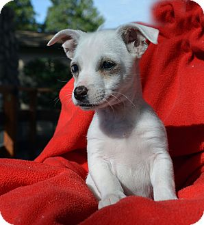 Jack Russell Terrier/Chinese Crested Mix Puppy for adoption in Mountain Center, California - JoJo