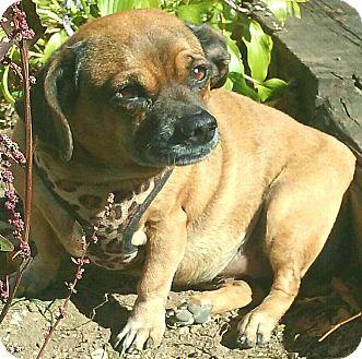 Pug/Dachshund Mix Dog for adoption in Andalusia, Pennsylvania - Tuga