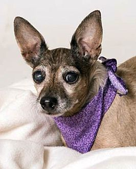 Chihuahua Mix Dog for adoption in Ventura, California - Destiny