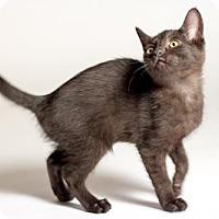 Domestic Shorthair Kitten for adoption in Kingston, Ontario - Juno