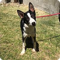 Adopt A Pet :: TULIE - San Pedro, CA