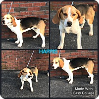 Adopt A Pet :: Harris - Garden City, MI