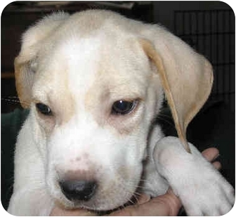 Labrador Retriever/Australian Cattle Dog Mix Puppy for adoption in Overland Park, Kansas - Carrie