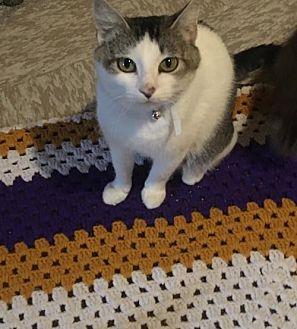Domestic Shorthair Cat for adoption in Shakopee, Minnesota - Mimi C1716