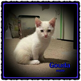 Siamese Kitten for adoption in Richmond, California - Gouda