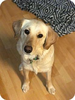 Golden Retriever/Labrador Retriever Mix Dog for adoption in Nashville, Tennessee - Harper