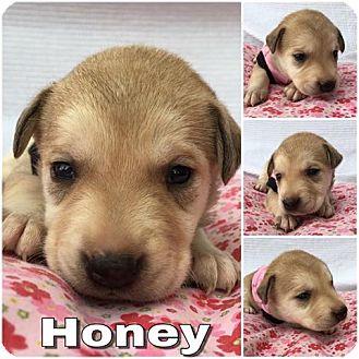 Labrador Retriever/Husky Mix Puppy for adoption in Waxhaw, North Carolina - Honey