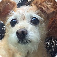 Chihuahua/Terrier (Unknown Type, Small) Mix Dog for adoption in New York, New York - Sadie