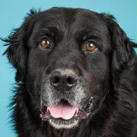 Adopt A Pet :: Honey Bear - Longmont, CO