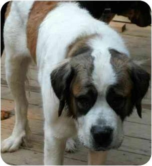 St. Bernard Dog for adoption in Coudersport, Pennsylvania - SADY