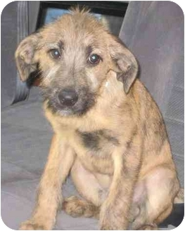 Labrador Retriever/Irish Wolfhound Mix Puppy for adoption in Hammonton, New Jersey - Arlo