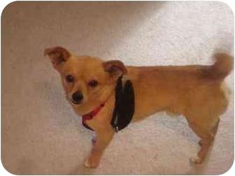 Chihuahua Mix Dog for adoption in Scottsdale, Arizona - JoJo