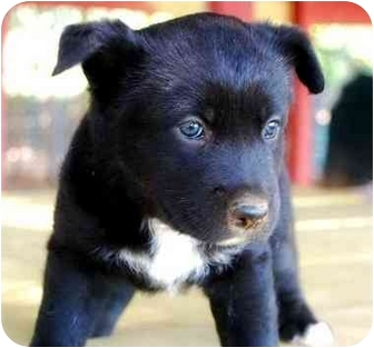 Labrador Retriever/Shepherd (Unknown Type) Mix Puppy for adoption in Fountain Inn, South Carolina - Oreo