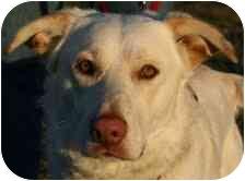 Australian Shepherd/Labrador Retriever Mix Dog for adoption in Foster, Rhode Island - Ruger