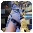 Photo 2 - Domestic Shorthair Kitten for adoption in West Warwick, Rhode Island - Alena
