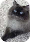 Himalayan Cat for adoption in Arlington, Virginia - Sherpa
