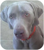 Weimaraner Dog for adoption in St. Louis, Missouri - Hunter 2