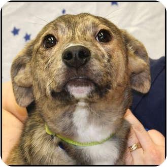 Labrador Retriever Mix Puppy for adoption in Westfield, New York - Diva